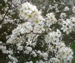 Photo: blackthorn blossom