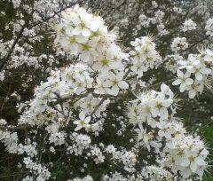 Photo: blackthorn blossom
